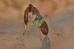 Heterotoma planicornis - Larve