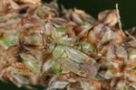 Plagiognathus chrysanthemi