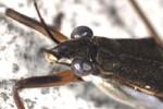 Gerris lacustris