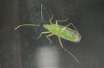Macrolophus pygmaeus