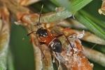 Pilophorus cinnamopterus