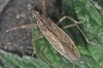 Nabis pseudoferus