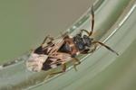 Scolopostethus affinis