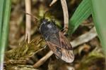 Megalonotus chiragra
