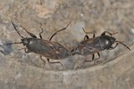 Megalonotus chiragra Kopula