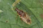 Cymus glandicolor Kopula