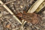 Peritrechus geniculatus Larve