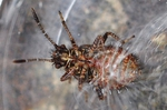 Rhopalus subrufus - Larve