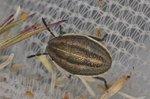 Aelia acuminata - Larve