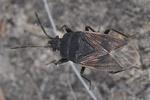 Drymus sylvaticus