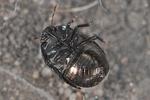 Thyreocoris scarabaeoides