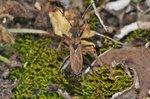 Alydus calcaratus