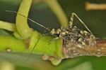 Phytocoris tiliae