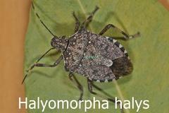 Halyomorpha halys