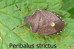 Peribalus strictus