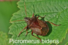 Picromerus bidens