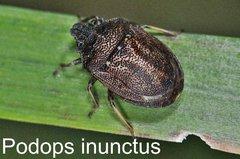 Podops inunctus