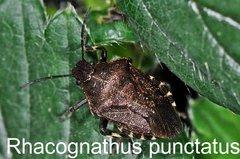 Rhacognathus punctatus