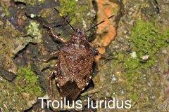 Troilus luridus