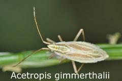 Acetropis gimmerthalii