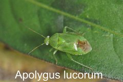 Apolygus lucorum