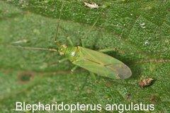 Blepharidopterus angulatus