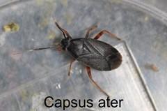 Capsus ater