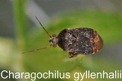 Charagochilus gyllenhalii