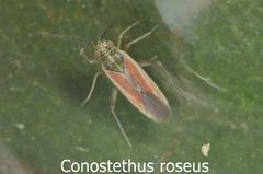 Conostethus roseus