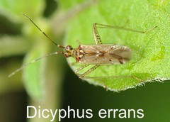 Dicyphus errans