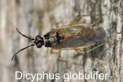 Dicyphus globulifer