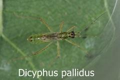 Dicyphus pallidus