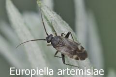 Europiella artemisiae