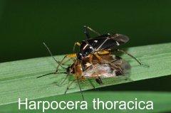 Harpocera thoracica