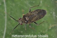 Heterocordylus tibialis