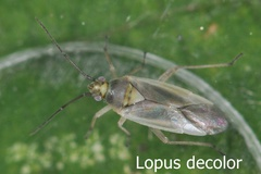 Lopus decolor