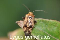 Lygus gemellatus