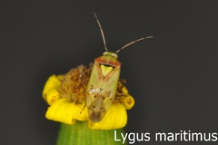 Lygus maritimus