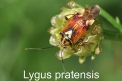 Lygus pratensis
