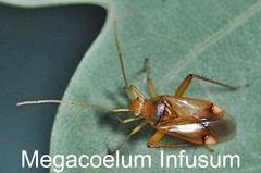 Megacoelum Infusum