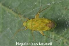 Megalocoleus tanaceti