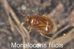 Monalocoris filicis