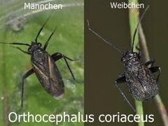 Orthocephalus coriaceus