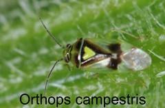 Orthops campestris