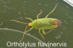 Orthotylus flavinervis