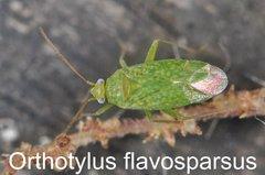 Orthotylus flavosparsus