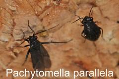Pachytomella parallela