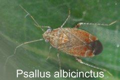 Psallus albicinctus