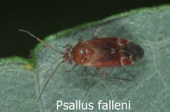 Psallus falleni