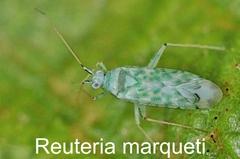 Reuteria marqueti
